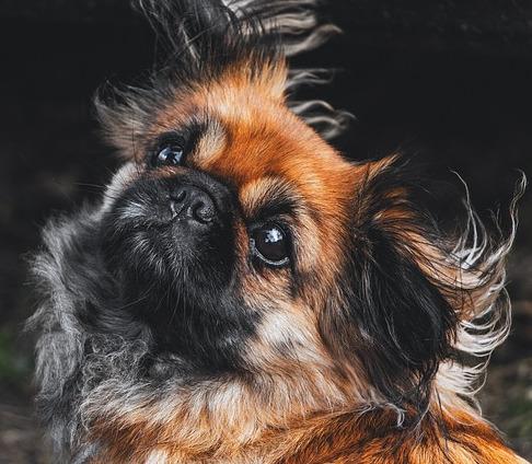 Perro pequnés peinado